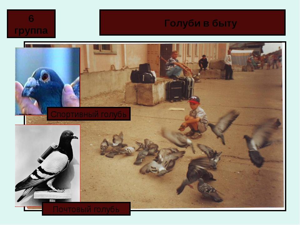 Голуби в быту 6 группа Спортивный голубь Почтовый голубь