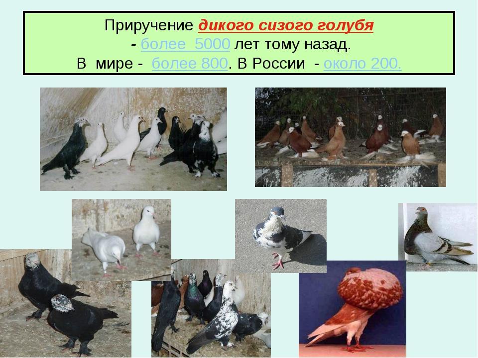Приручение дикого сизого голубя - более 5000 лет тому назад. В мире - более 8...