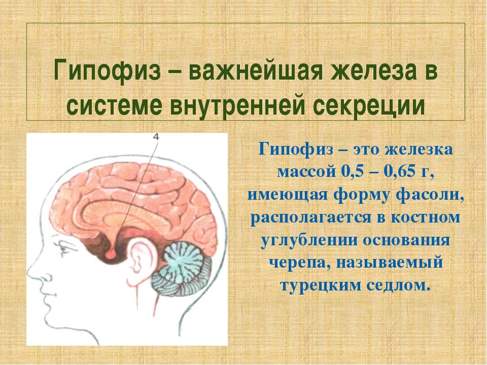 Гипофиз – важнейшая железа в системе внутренней секреции Гипофиз – это железк...
