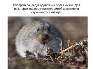 Как правило, ведут одиночный образ жизни. Для некоторых видов леммингов зимой