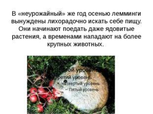 В «неурожайный» же год осенью лемминги вынуждены лихорадочно искать себе пищу