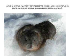 Активны круглый год. Зиму часто проводят в гнёздах, устроенных прямо на земле