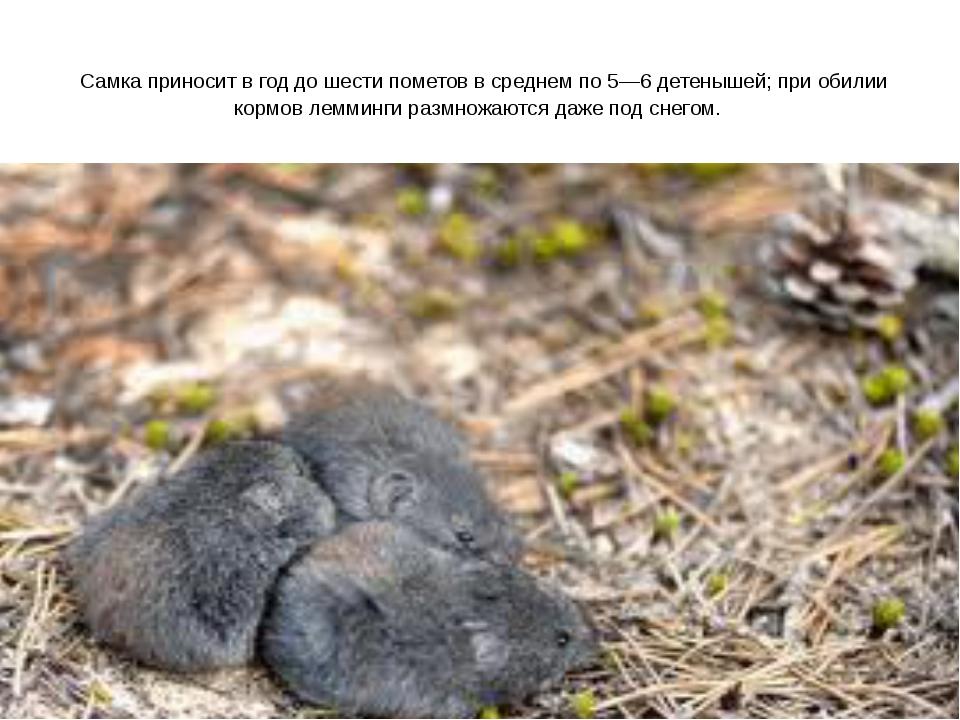 Самка приносит в год до шести пометов в среднем по 5—6 детенышей; при обилии...