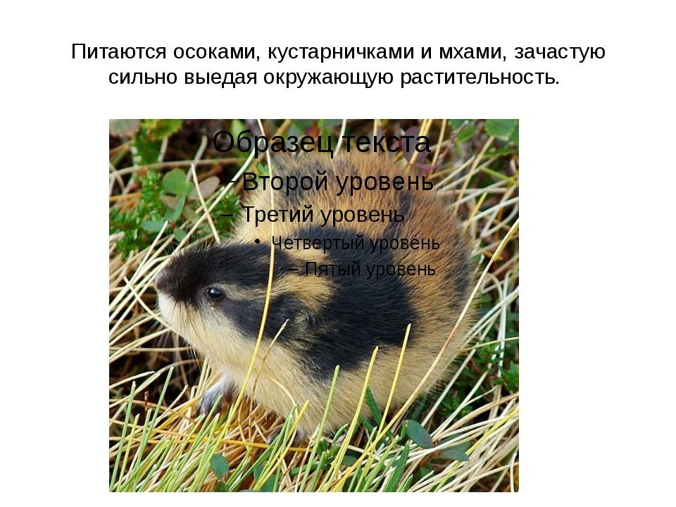 Питаются осоками, кустарничками и мхами, зачастую сильно выедая окружающую ра...