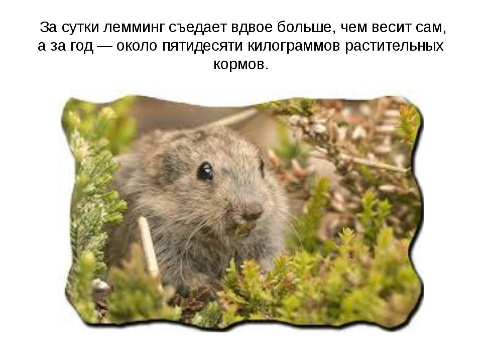 За сутки лемминг съедает вдвое больше, чем весит сам, а за год— около пятид...