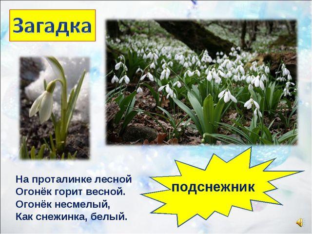 На проталинке лесной Огонёк горит весной. Огонёк несмелый, Как снежинка, белы...