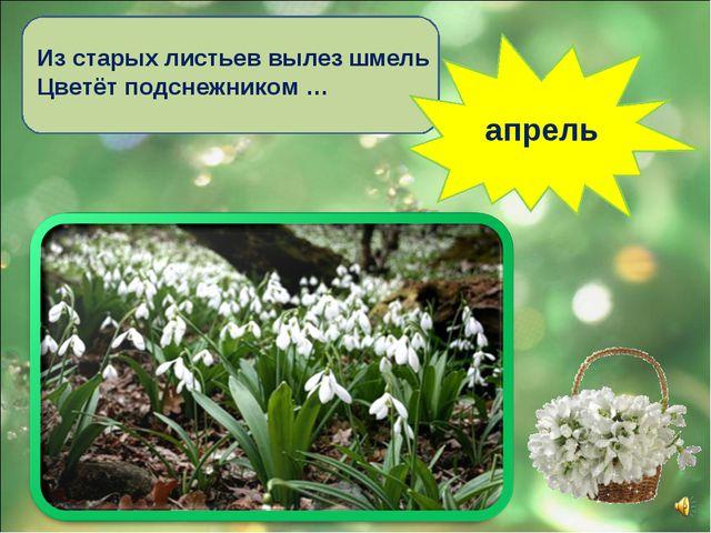 Из старых листьев вылез шмель Цветёт подснежником … апрель