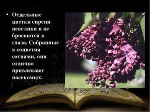 Отдельные цветки сирени невелики и не бросаются в глаза. Собранные в соцветия