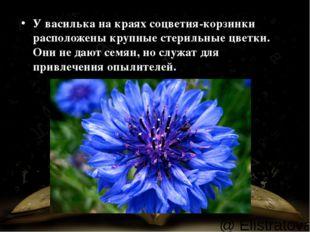 У василька накраях соцветия-корзинки расположены крупные стерильные цветки.