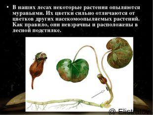 В наших лесах некоторые растения опыляются муравьями. Их цветки сильно отлича