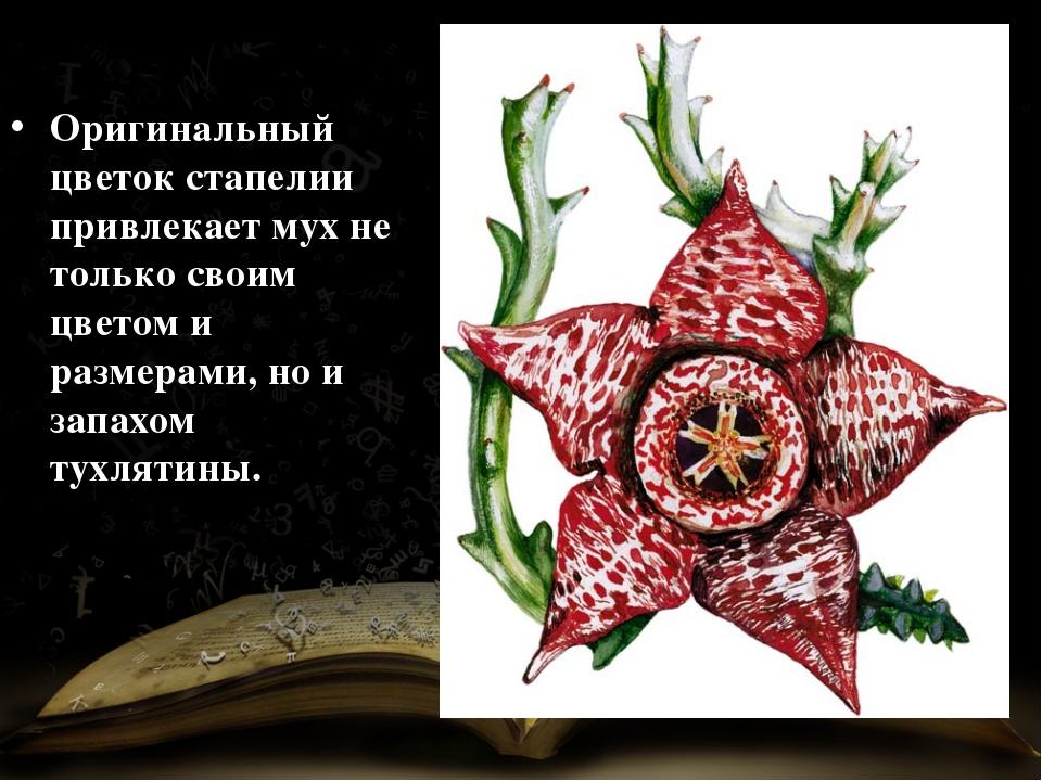 Оригинальный цветок стапелии привлекает мух не только своим цветом и размерам...