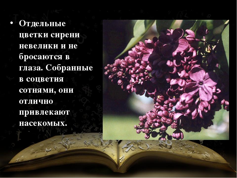 Отдельные цветки сирени невелики и не бросаются в глаза. Собранные в соцветия...