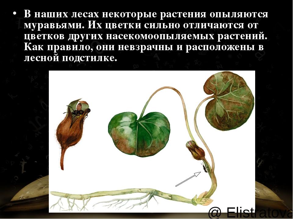 В наших лесах некоторые растения опыляются муравьями. Их цветки сильно отлича...