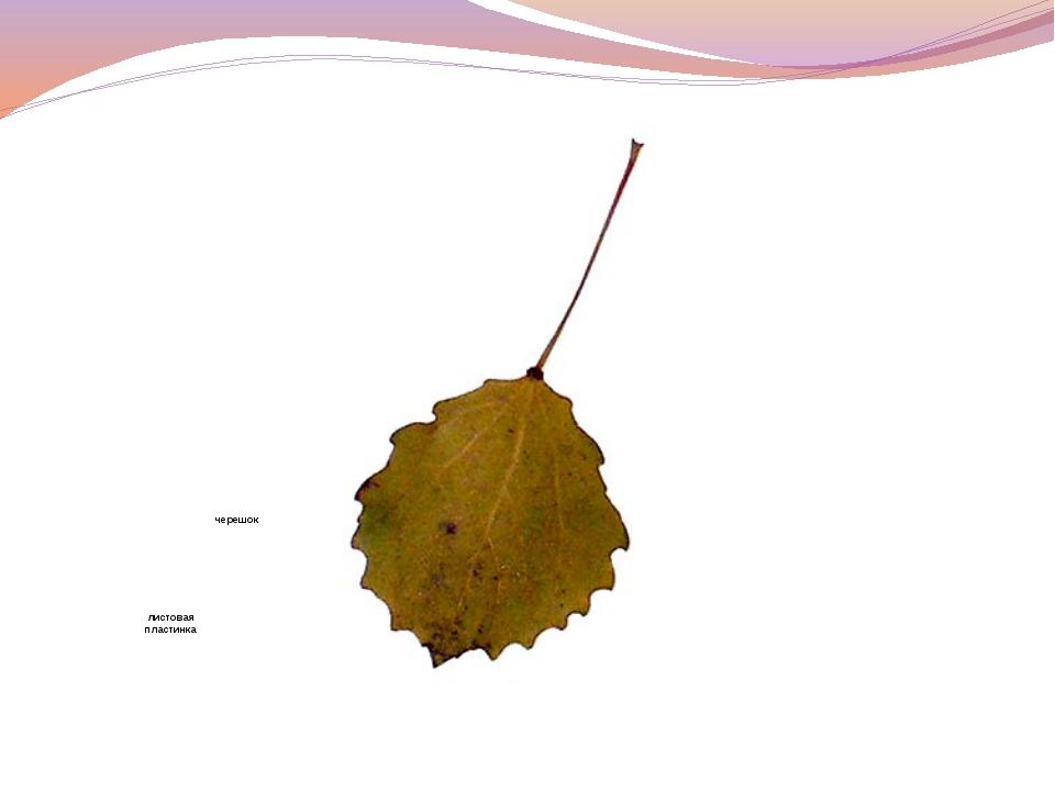 черешок листовая пластинка