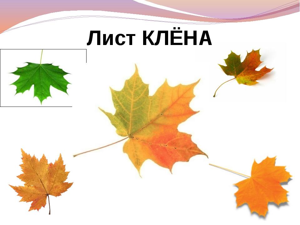 Лист КЛЁНА