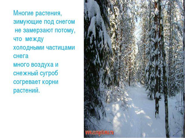 Многие растения, зимующие под снегом не замерзают потому, что между холодными...
