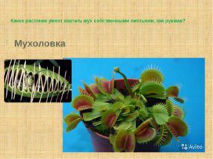 Какое растение умеет хватать мух собственными листьями, как руками? Мухоловка