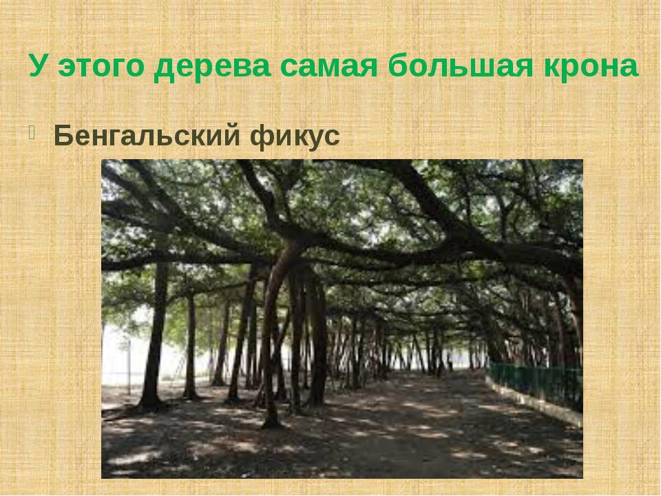 У этого дерева самая большая крона Бенгальский фикус