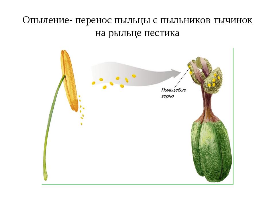 Опыление- перенос пыльцы с пыльников тычинок на рыльце пестика