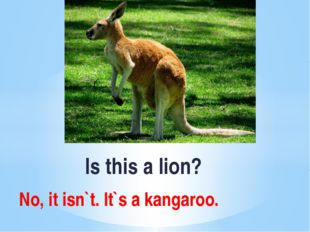 Is this a lion? No, it isn`t. It`s a kangaroo.