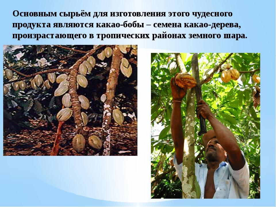 Основным сырьём для изготовления этого чудесного продукта являются какао-бобы...