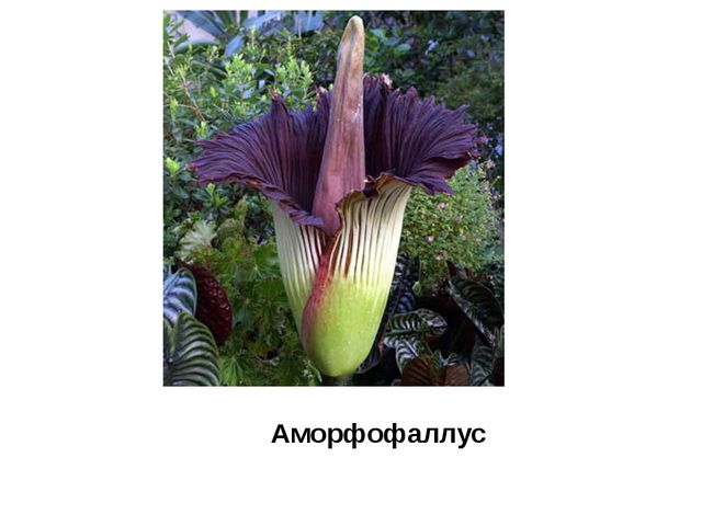 Аморфофаллус
