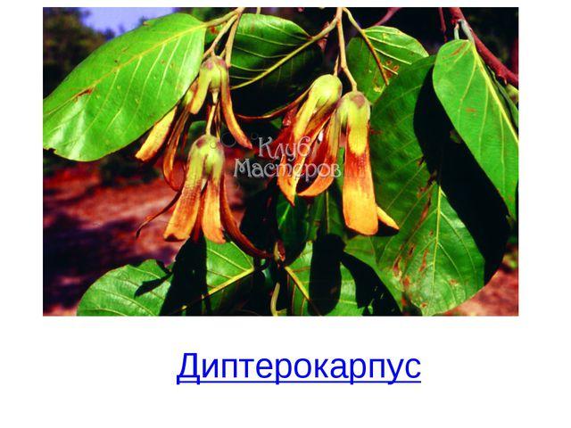Диптерокарпус