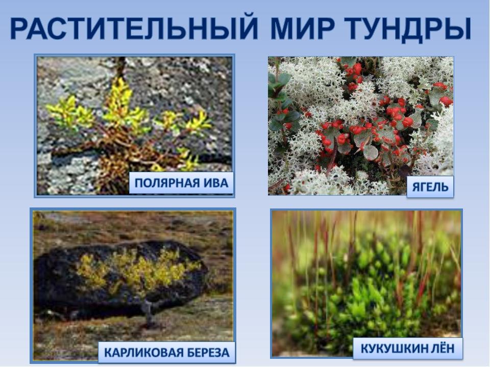 хотя растения тундры фото и описание артиста могут решить