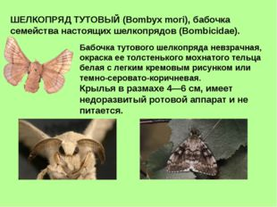 ШЕЛКОПРЯД ТУТОВЫЙ (Bombyx mori), бабочка семейства настоящих шелкопрядов (Bom