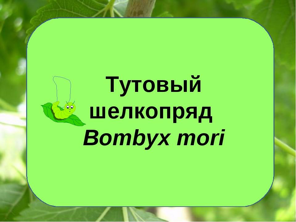 Тутовый шелкопряд Bombyx mori