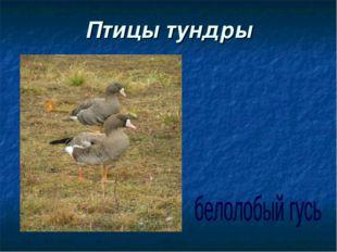 Птицы тундры