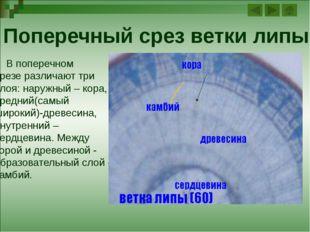 Годичные кольца древесины Вид годичных слоёв на главных разрезах: Ранняя (св