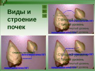 ПОЧКА - ЗАЧАТОЧНЫЙ ПОБЕГ Снаружи почка покрыта плотными кожистыми чешуями. В