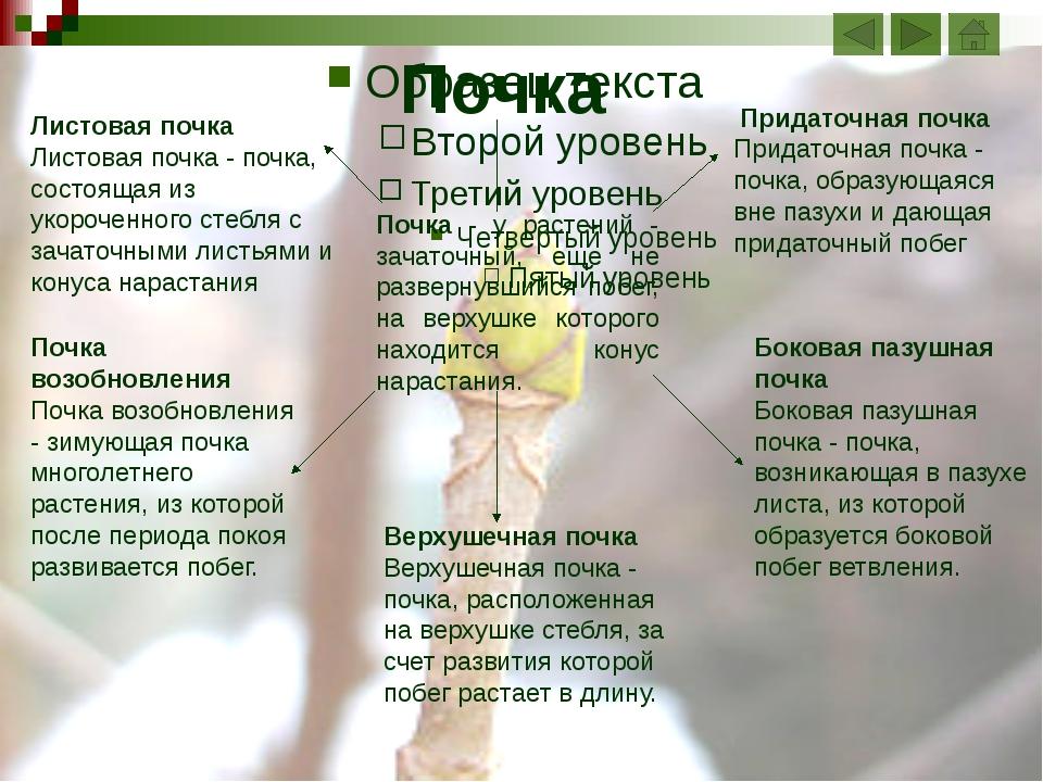 Срез вегетативной почки Зачаточный стебель Зачаточные листья Зачаточные почки