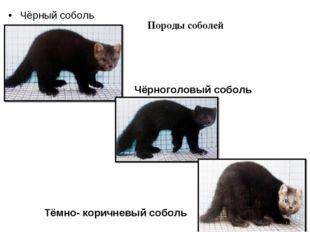 Чёрный соболь Чёрноголовый соболь Тёмно- коричневый соболь Породы соболей