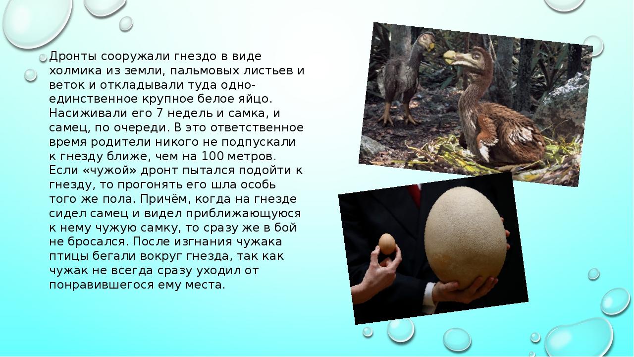 Дронты сооружали гнездо в виде холмика из земли, пальмовых листьев и веток и...