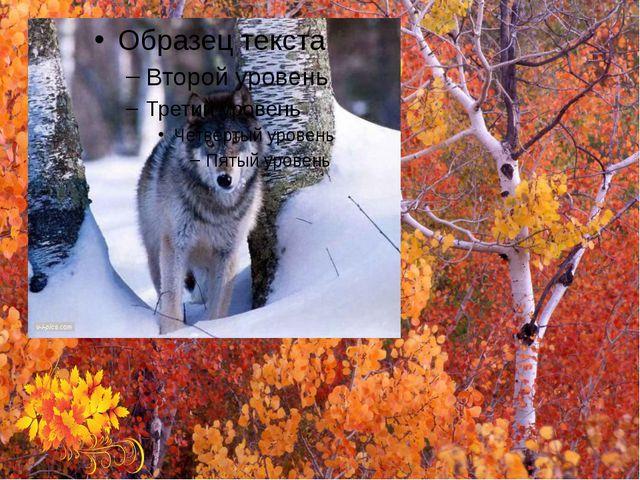 Э́т͞о волк.