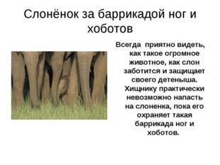 Слонёнок за баррикадой ног и хоботов Всегда приятно видеть, как такое огромно