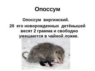 Опоссум Опоссум виргинский. 20 его новорожденных детёнышей весят 2 грамма и с