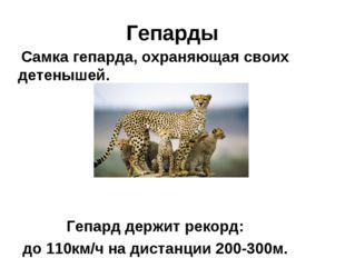 Гепарды Самка гепарда, охраняющая своих детенышей. Гепард держит рекорд: до 1