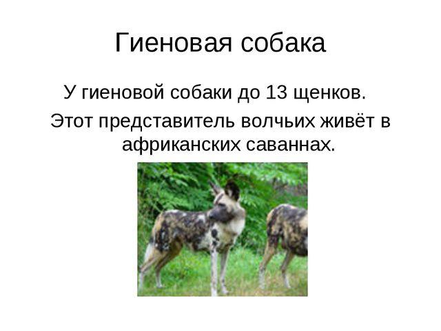 Гиеновая собака У гиеновой собаки до 13 щенков. Этот представитель волчьих жи...