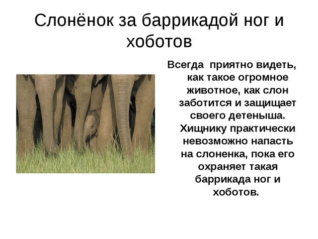 Слонёнок за баррикадой ног и хоботов Всегда приятно видеть, как такое огромно...