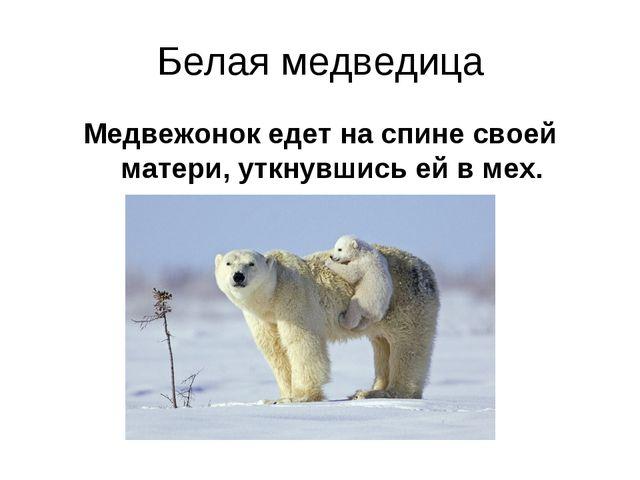 Белая медведица Медвежонок едет на спине своей матери, уткнувшись ей в мех.
