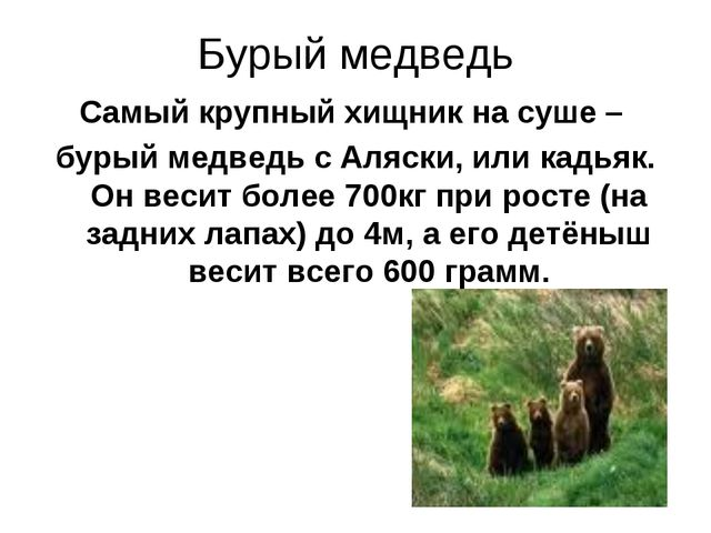 Бурый медведь Самый крупный хищник на суше – бурый медведь с Аляски, или кадь...