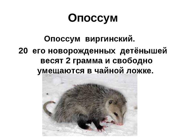 Опоссум Опоссум виргинский. 20 его новорожденных детёнышей весят 2 грамма и с...
