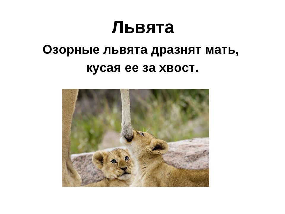 Львята Озорные львята дразнят мать, кусая ее за хвост.