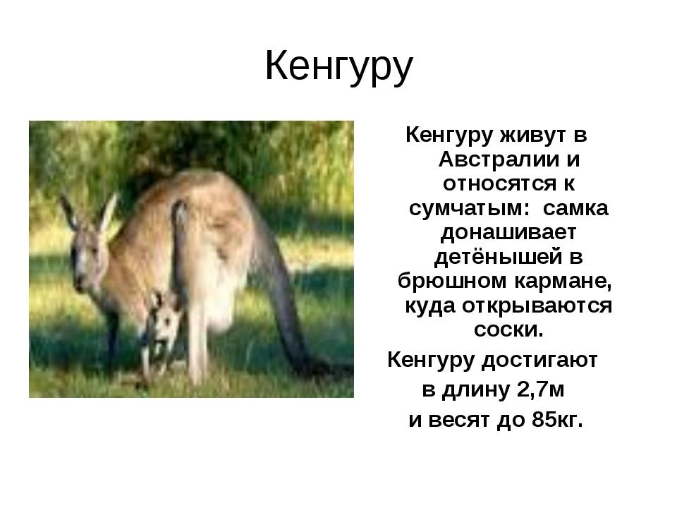 Кенгуру Кенгуру живут в Австралии и относятся к сумчатым: самка донашивает де...