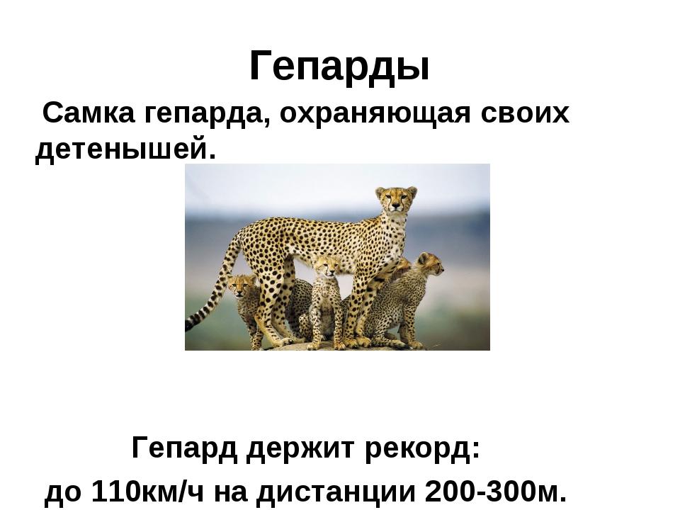 Гепарды Самка гепарда, охраняющая своих детенышей. Гепард держит рекорд: до 1...