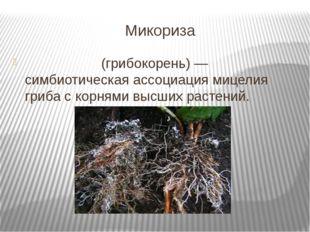Микориза Микори́за (грибокорень) — симбиотическая ассоциация мицелия гриба с