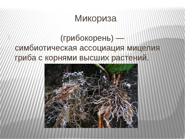 Микориза Микори́за (грибокорень) — симбиотическая ассоциация мицелия гриба с...